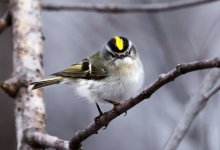 Golden-Crowned Kinglet © Fernando Molina, Amherst, MA__Best of Bird Portrait