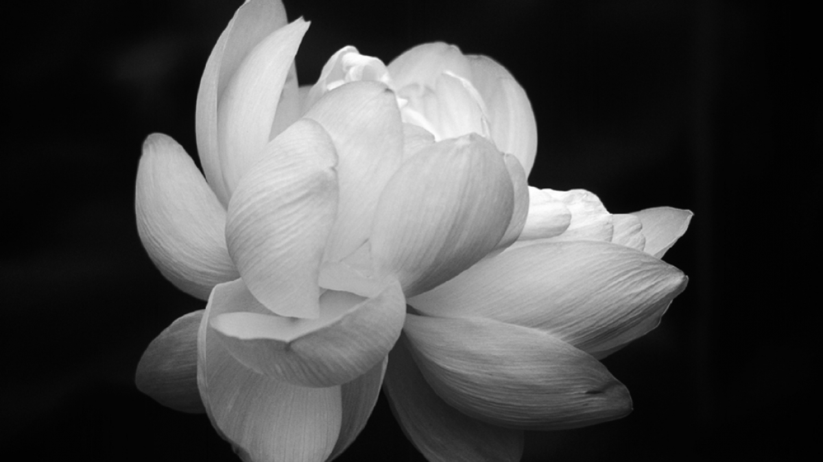 Lotus, black and white ©Robert Floyd, 2014