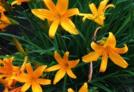 Yellow day lilies.